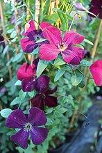 Waldrebe Clematis viticella 'Royal Velours' Kletterpflanze 100cm Topf gewachsen Italienische Sorte mit feuerroter Blütenpracht (60-100cm)