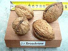 Walnuss Busch-Baum Broadview aromatisch-nussig 100-150 cm braun-grünes Schalenobst Gartenpflanze 1 Pflanze