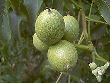 Walnuss Busch-Baum Hugnuss aromatisch-nussig 100-150 cm braun-grünes Schalenobst Gartenpflanze 1 Pflanze