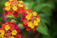 Wandelrose 10 Samen (Lantana camara) Blüten für