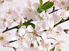 wandmotiv24 Fototapete Kirschblüte Größe: 350 x