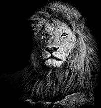wandmotiv24 Fototapete Löwe schwarz weiß, L 300