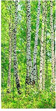 wandmotiv24 Türtapete Birkenwald 100 x 200cm (B x