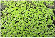 Wasserlinse (Lemna minor) - Teichpflanzen