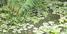 Wasserpest 2kg aus Natur-Gartenteich Algenkiller