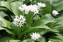 Wasserpflanzen Wolff - Allium ursinum - Bärlauch, weiß - wilder Knoblauch