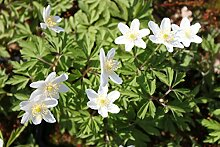 Wasserpflanzen Wolff - Anemone nemorosa -