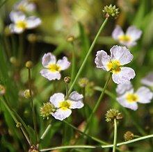 Wasserpflanzen Wolff - Baldellia ranunculoides -