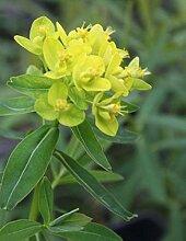 Wasserpflanzen Wolff - Euphorbia palustris -