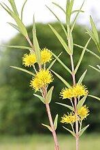 Wasserpflanzen Wolff - winterhart - Lysimachia