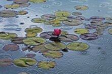 Waterlilies // Fototapete Xl 175 x 115 cm //