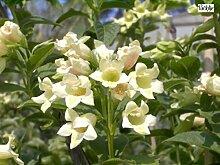 Weigelia middendorfiana - Gold-Weigelie