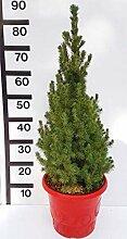 Weihnachtsbaum Zuckerhut-Fichte Weißfichte Picea