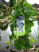 Weinrebe Regent 80 cm hoch im 3 Liter