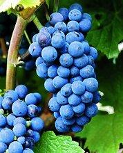 Weinrebe Regent©. rot. 1 Pflanze - zu dem Artikel
