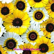 Weiß: 100 Teile/beutel Gerbera Daisy Seeds New