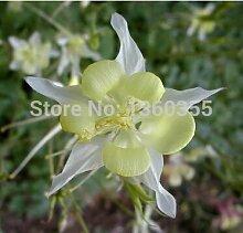 Weiß Columbine Samen, Getopfte Blumen Samen