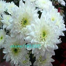 Weiß: heißer Verkauf 100 Stücke Blumensamen,