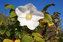 Weiße Apfelrose Rosa rugosa alba Pflanze 35-40cm