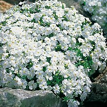 Weiße Staude Polsterphlox -phlox subulata-
