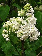 Weißer Flieder Syringa vulgaris alba Pflanze 40cm Strauch tolle weiße Blüten