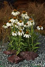 Weißer Sonnenhut (Echinacea purpurea ' Alba