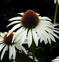 weißer Sonnenhut - großer Topf - Echinacea