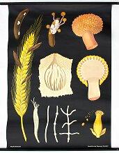 Weizen Lehrtafel von Jung-Koch-Quentell für