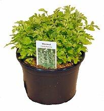 Wermut Pflanze, Marktfrische Kräuter Pflanze