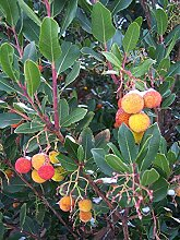 Westlicher Erdbeerbaum Arbutus unedo Pflanze
