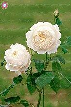 White: Svi Frische 100Pcs Doppel Petal English