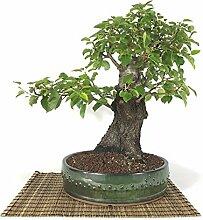 Wild Cherry bonsai tree (66)