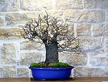 Wild Cherry bonsai tree (67)