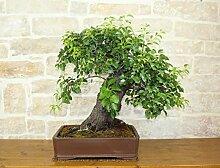 Wild Cherry bonsai tree (72)