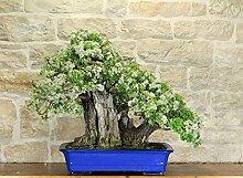 Wild Cherry bonsai tree (74)