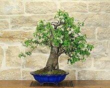 Wild Cherry bonsai tree (89)