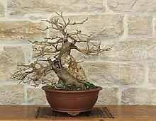 Wild Mulberry bonsai tree (37)