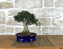 Wild Olive bonsai tree (124)