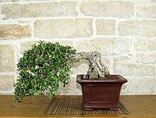 Wild Olive bonsai tree (135)
