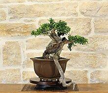 Wild Olive bonsai tree (161)