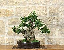 Wild Olive bonsai tree (163)