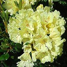 Wildart Azalee 70-80cm - Rhododendron lutescens