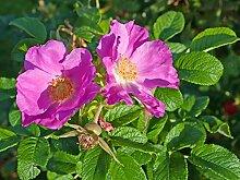 Wildrosenhecke - Apfelrosen im 10er Paket Größe