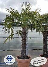 winterharte Chinesische Hanfpalme (Trachycarpus