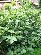 winterharte Feige, Ficus carica Brown Turkey 60 - 80 cm hoch im 5 Liter Pflanzcontainer