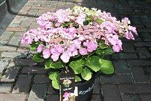 "Winterharte Gartenpflanze, Gartenhortensie (Hydrangea Macrophylla) ""Lutin Pink"" - ZIEMLICH GROSSE PFLANZE"