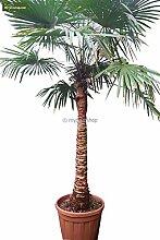 Winterharte Hanfpalme GLATTER STAMM - Trachycarpus