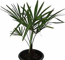 Winterharte Hanfpalme (Trachycarpus fortunei) 1000