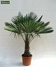 Winterharte Hanfpalme - Trachycarpus fortunei -