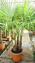 Winterharte Hanfpalme - Trachycarpus fortunei MULTISTAMM - verschiedene Größen - PALLETTENVERSAND (220+cm - Topf 70Ltr.)